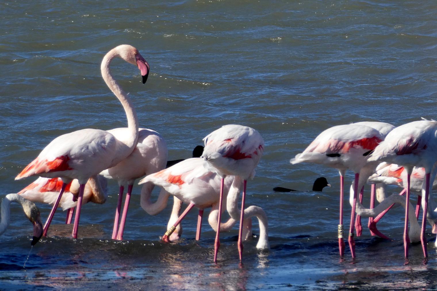 lyserøde flamingoer i Camargue